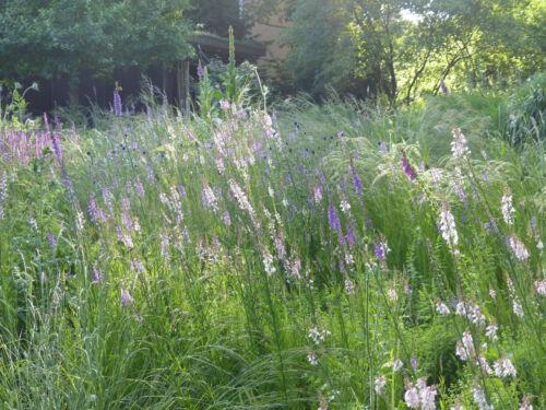 Leinkraut, Gräser und Salbei statt vertrockneter Rasen.Trockenpflanzung in einem Hamburger Privatgarten