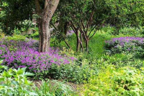 Schattenpflanzung mit Geranium gracile Sirak