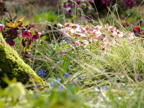 Lenzrosen (Helleborus Hybriden) in einem Hamburger Privatgarten