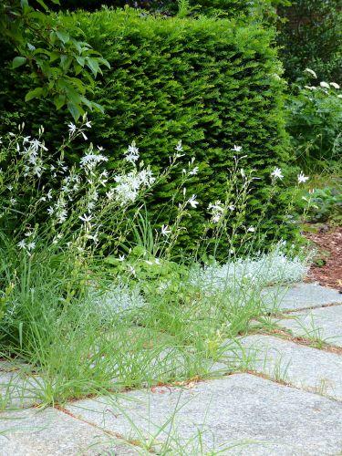 Aussaat erwünscht - Graslilie Anthericum ramosum in Pflasterfugen