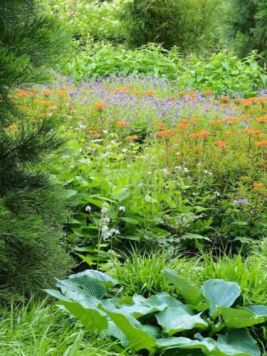 Geranium phaeum Lily Lovell, Euphorbia griffithii Fireglow und Hosta Weißnichtmehr