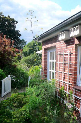 Dachüberstand und warme Hausmauer - perfekt für den Riesenfenchel