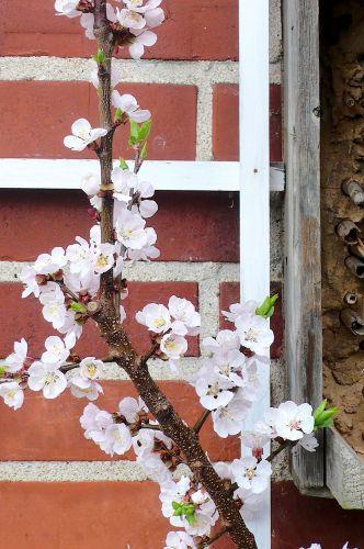 Dachüberstand und warme Hausmauer - perfekt für ein Aprikosenspalier