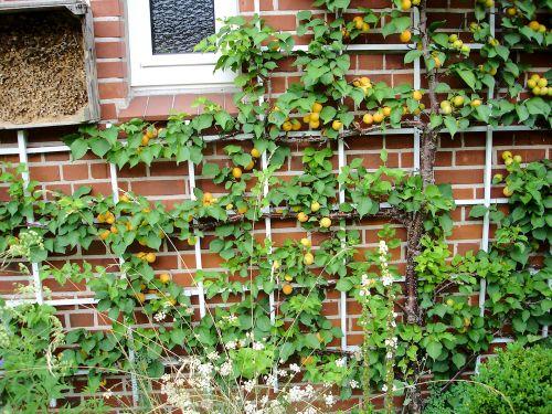 Dachüberstand und warme Hausmauer - perfekt für ein Spalier mit Aprikose Ungarische Beste